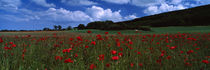 Flowers On A Field, Staxton, North Yorkshire, England, United Kingdom von Panoramic Images