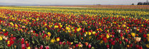 Tulip Field, Willamette Valley, Oregon, USA von Panoramic Images