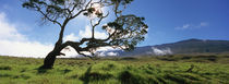 Koa Tree On A Landscape, Mauna Kea, Big Island, Hawaii, USA by Panoramic Images