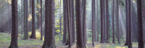 Trees in the forest, South Bohemia, Czech Republic von Panoramic Images