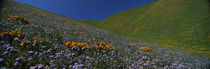 Wildflowers on a hillside, California, USA von Panoramic Images