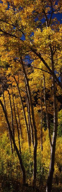 Aspen trees in autumn, Colorado, USA von Panoramic Images
