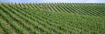 Vineyards, Germany by Panoramic Images