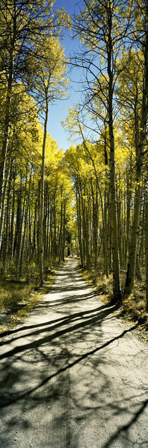 Aspen trees in a forest, Californian Sierra Nevada, California, USA by Panoramic Images