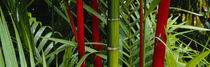 Close-up of bamboo trees, Hawaii, USA by Panoramic Images