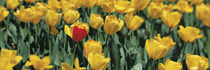 Yellow tulips in a field von Panoramic Images