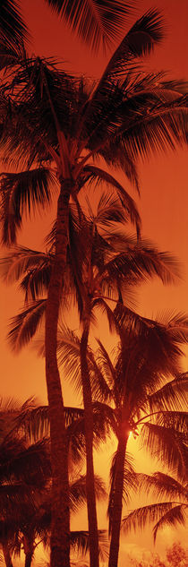 Low angle view of palm trees at dusk, Kalapaki Beach, Kauai, Hawaii, USA by Panoramic Images