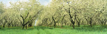 Rows Of Cherry Tress In An Orchard, Minnesota, USA von Panoramic Images