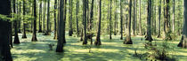 Cypress trees in a forest, Shawnee National Forest, Illinois, USA by Panoramic Images