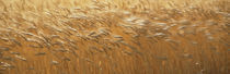 Spring Wheat by Panoramic Images