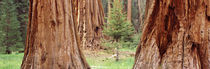 Sapling among full grown Sequoias, Sequoia National Park, California, USA von Panoramic Images