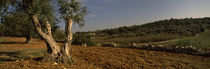 Trees on a landscape, Itria Valley, Puglia, Italy by Panoramic Images