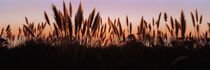 Silhouette of grass in a field at dusk, Big Sur, California, USA von Panoramic Images