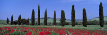 Field Of Poppies And Cypresses In A Row, Tuscany, Italy by Panoramic Images