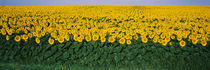 Sunflower Field, Maryland, USA von Panoramic Images