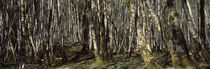 Trees in a forest, Alder thicket, Washington State, USA von Panoramic Images