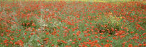 Poppies growing in a field, Sicily, Italy by Panoramic Images