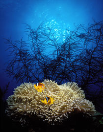 Mat anemone and Allard's anemonefish (Amphiprion allardi) in the ocean by Panoramic Images