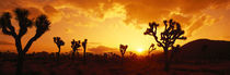 Panorama Print - Sonnenuntergang, Joshua Tree Park, Kalifornien, USA von Panoramic Images