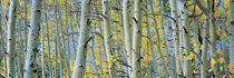 Aspen trees in a forest, Rock Creek Lake, California, USA von Panoramic Images
