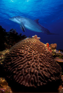 Bottle-Nosed dolphin (Tursiops truncatus) and coral in the sea by Panoramic Images
