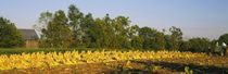Tractor in a tobacco field, Winchester, Kentucky, USA by Panoramic Images