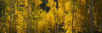 Aspen trees in a forest, Telluride, San Miguel County, Colorado, USA by Panoramic Images