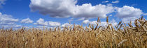 Wheat crop growing in a field, near Edmonton, Alberta, Canada by Panoramic Images
