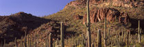 Cacti on a landscape, Organ Pipe Cactus National Monument, Arizona, USA von Panoramic Images