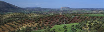 Olive Groves Andalucia Spain by Panoramic Images