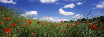 Red poppies blooming in a field, Baden-Württemberg, Germany von Panoramic Images