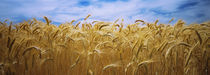 Wheat crop growing in a field, Palouse Country, Washington State, USA by Panoramic Images