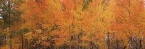 Forest, Jackson, Jackson Hole, Teton County, Wyoming, USA by Panoramic Images