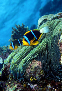 Allard's anemonefish (Amphiprion allardi) in the ocean by Panoramic Images