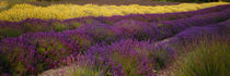 Lavender and Yellow Flower fields, Sequim, Washington, USA by Panoramic Images