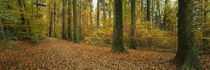 Beech trees in the forest, Canton Of Zurich, Switzerland by Panoramic Images