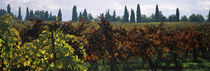 Vineyards with trees in the background, Apennines, Emilia-Romagna, Italy by Panoramic Images