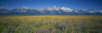 Field of flowers, Grand Teton National Park, Wyoming, USA by Panoramic Images