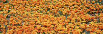 Antelope Valley California Poppy Reserve, California, USA von Panoramic Images