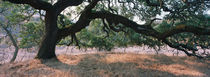 Oak tree on a field, Sonoma County, California, USA von Panoramic Images