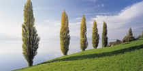 Switzerland, Lake Zug, Row of Populus Trees near a lake by Panoramic Images