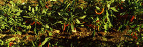Red chili peppers growing on plants, Itria Valley, Puglia, Italy von Panoramic Images