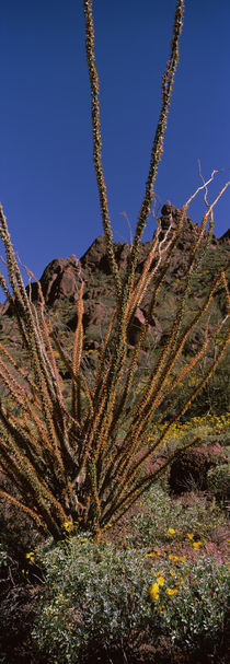Plants on a landscape, Organ Pipe Cactus National Monument, Arizona, USA by Panoramic Images