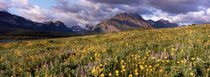 Flowers in a field, Glacier National Park, Montana, USA by Panoramic Images