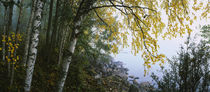 Birch trees in a forest, Puumala, Finland by Panoramic Images