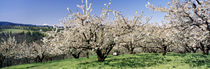 Cherry Orchard, Oregon, USA von Panoramic Images