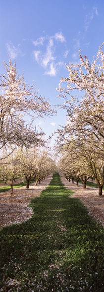 Almond trees in an orchard, Central Valley, California, USA by Panoramic Images