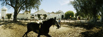 Horse running in an paddock, Gerena, Seville, Seville Province, Andalusia, Spain by Panoramic Images