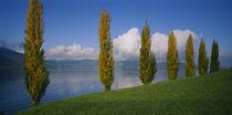 Row of poplar trees along a lake, Lake Zug, Switzerland by Panoramic Images