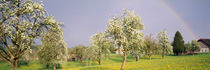 Pear trees in a field (Pyrus communis), Aargau, Switzerland von Panoramic Images